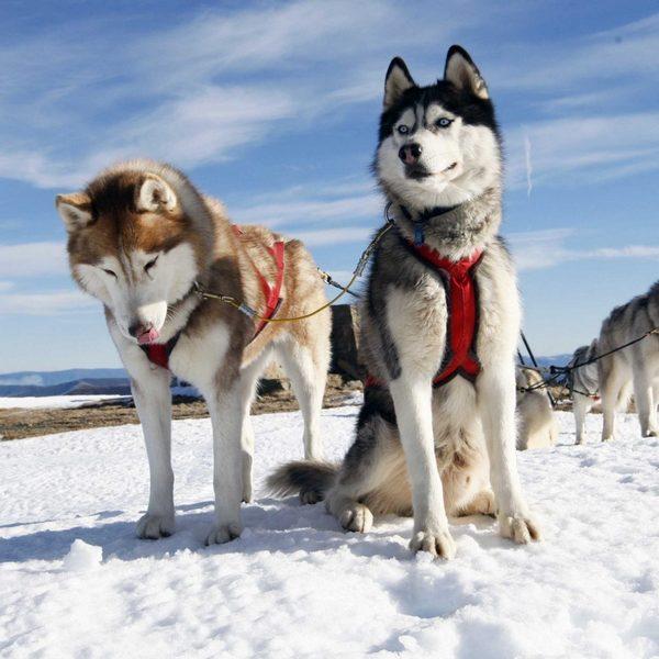 Катания на собаках