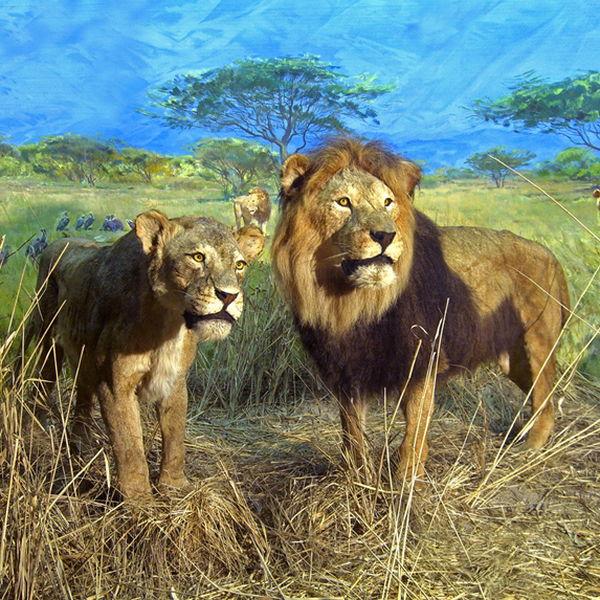 Львы в Зоологическом музее в Спб
