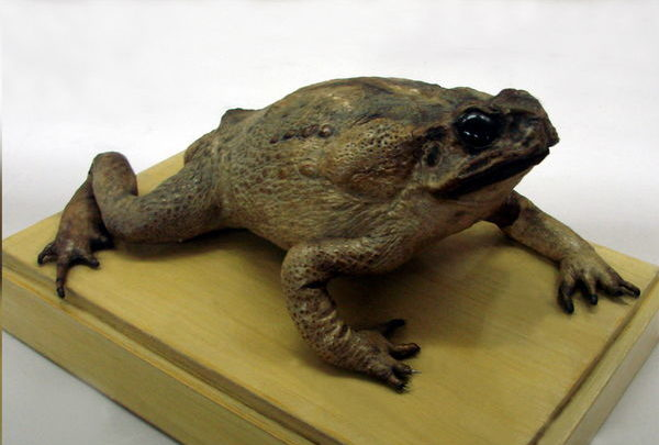 Чучело жабы