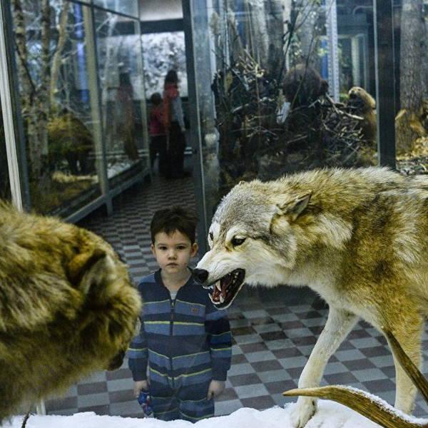 Экспонаты музея: волки
