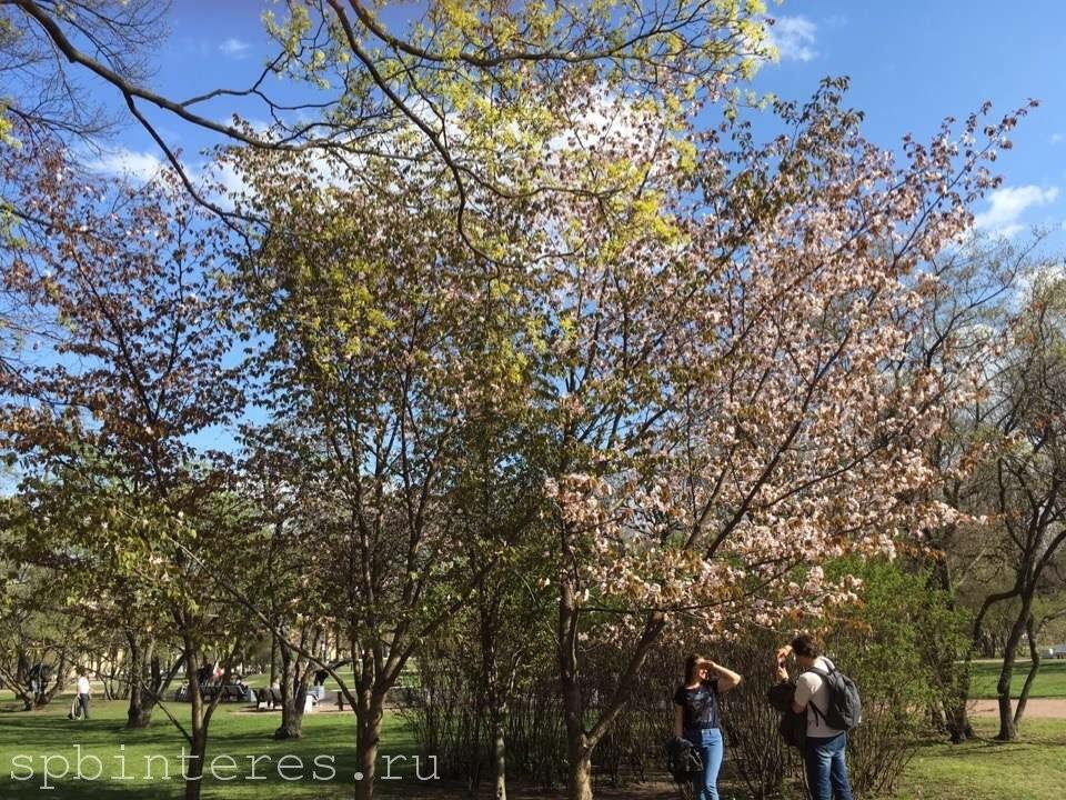 Сакура в Санкт-Петербурге в Смольном парке