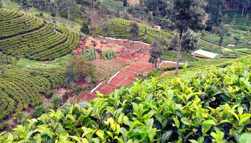 Тропы чайного поместья в долине Богавантавала