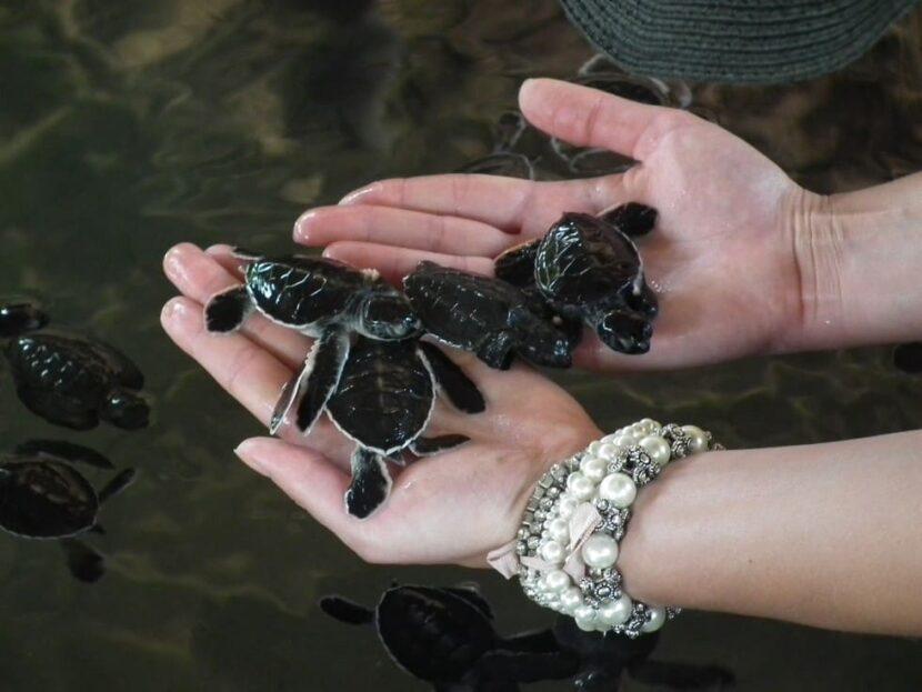 Посещение черепаховой фермы в Бентоте
