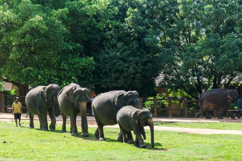 Pinnewala приюта для слонов