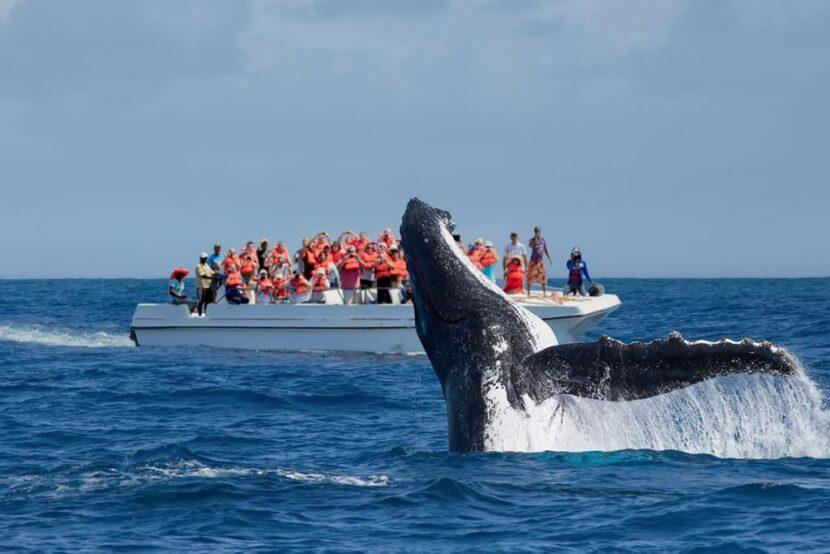 горбатые киты мигрируют в Залив Самана (Bahía de Samaná)