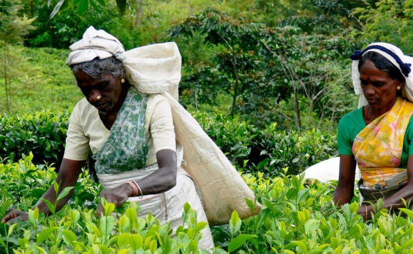 Tea and Herb Tour in Colombo