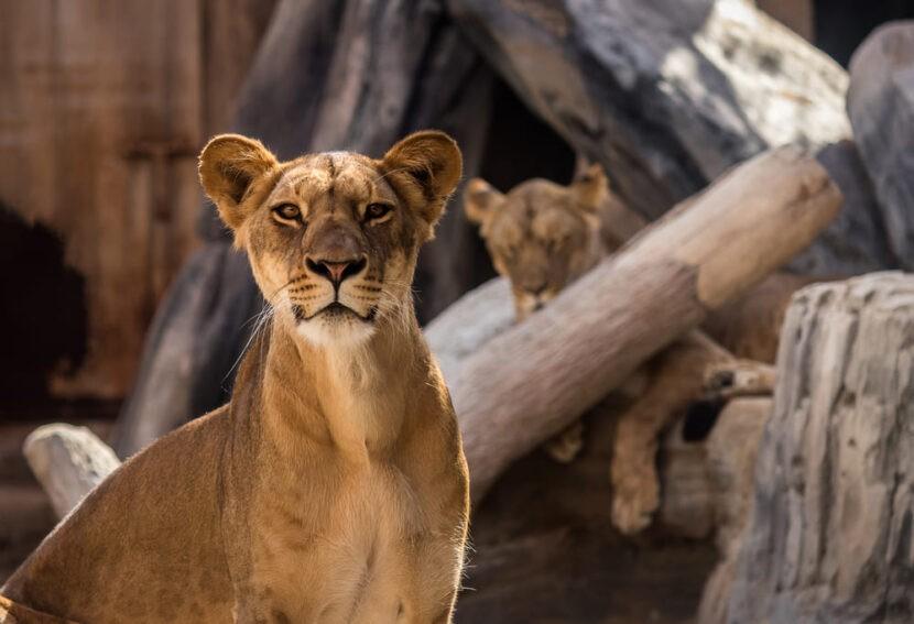 Львица в Emirates park zoo