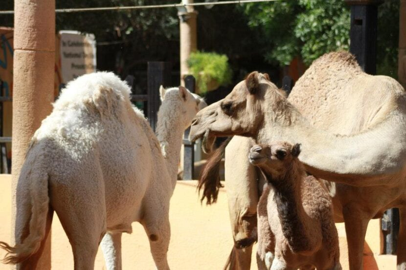 Верблюды Emirates park zoo