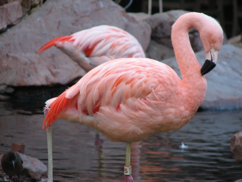 Фламинго в Emerates park zoo