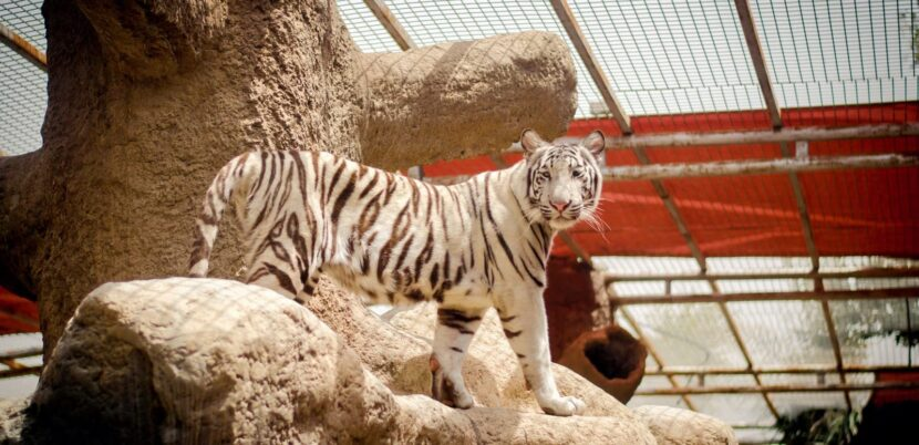 Белый тигр в Emerates park zoo
