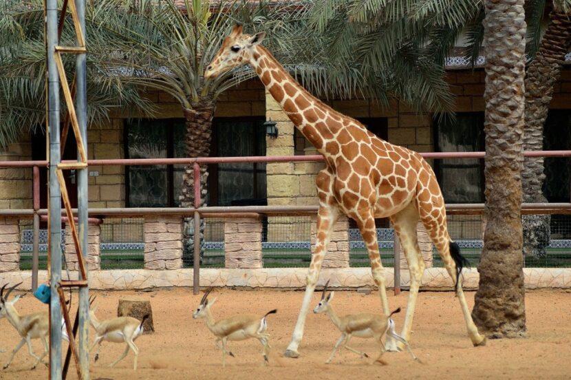 Жираф в Emirates park zoo