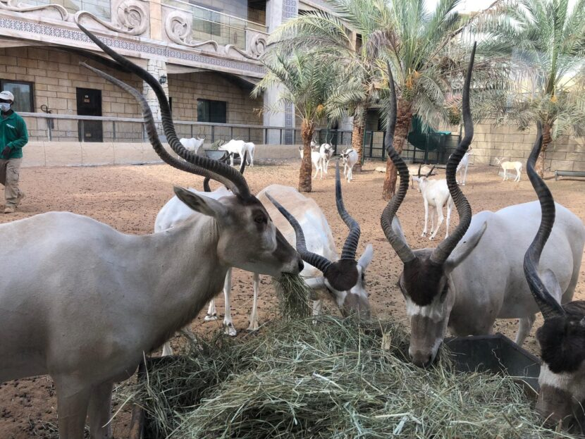 Антилопы в Emerates park zoo