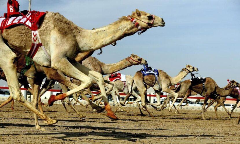 Гонки верблюдов